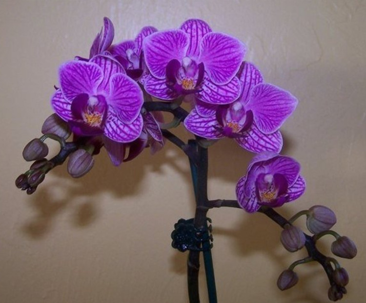 Как размножать орхидею фаленопсис правильно...