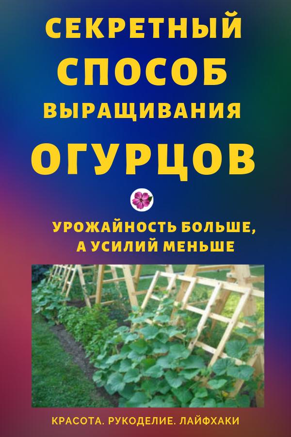 Секретный прием выращивания грунтовых огурцов своими руками: урожайность больше, а усилий меньше...